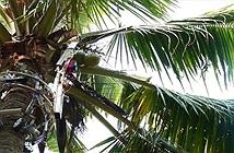 Các nhà khoa học Ấn Độ phát triển thành công robot hái dừa, năng suất cao hơn cả con người