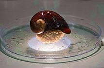 Giải mã bí mật của loài ốc sên sống trên miệng núi lửa