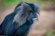 Chú khỉ nổi tiếng đua đòi hút thuốc và sự thật bất ngờ