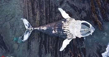 Cá voi chết thảm, đụng phải thứ không ai ngờ