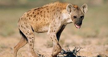 Linh cẩu chực chờ cướp miếng ăn sư tử và kết đắng ngắt