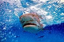 Tìm thấy bàn tay đeo nhẫn cưới trong bụng cá mập hổ ở Pháp