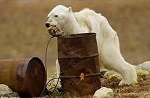 Rớt nước mắt gấu Bắc cực lảo đảo người tìm thức ăn
