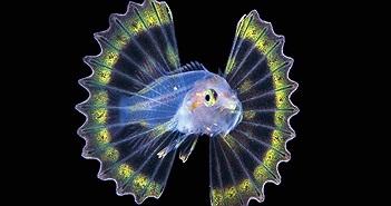 Loài cá đẹp như thần tiên, nhưng cẩn thận... độc chết người