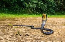 Bị tấn công, người đàn ông chém bay đầu rắn hổ mang