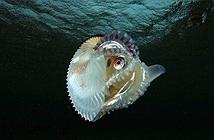 Loài bạch tuộc kỳ lạ có thể tháo rời...dương vật