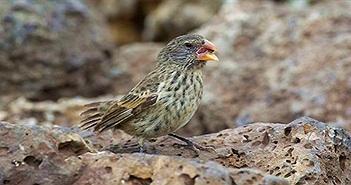 Loài chim sẻ có lực cắn mạnh gấp 320 lần khủng long bạo chúa