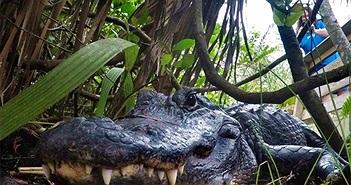 Cá sấu là loài động vật lớn nhất có thể tự mọc lại các chi