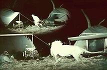 Video: Suýt thành mồi ngon cho sư tử khi cắm trại nơi hoang dã