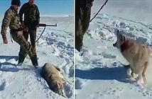 """Sói tuyết """"hồi sinh"""" dạy dỗ thợ săn bài học nhớ đời"""