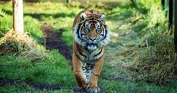 """Làm quen không thành, hổ giết luôn bạn tình được sở thú """"sắp đặt"""""""