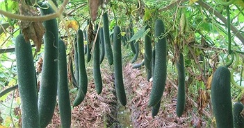 Cách trồng cây bí đao sai quả