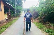 Bắt hổ mang chúa khổng lồ bằng tay không, kéo lê trên đường