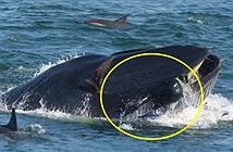 Thót tim cảnh cá voi ngậm thợ lặn vào miệng đùa giỡn