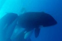 Phát hiện ra hình ảnh hiếm về loài cá voi sát thủ bí ẩn