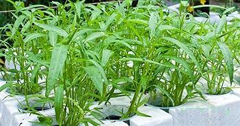 Kỹ thuật trồng rau muống sạch trong thùng xốp tại nhà
