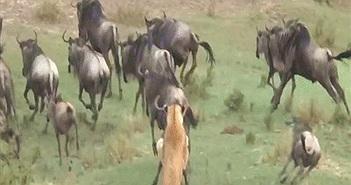 Video: Sư tử cái chọn 1/1.000 con linh dương làm quà cho sư tử đực