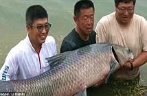 Cá chép khổng lồ, khỏe đến mức lôi luôn ngư dân xuống nước