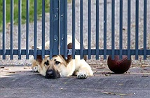 Xót xa cô chó nằm mãi ngoài cổng đợi chủ về