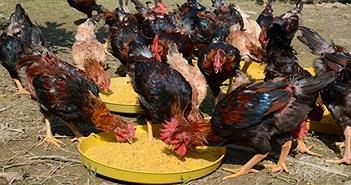Kỹ thuật nuôi gà Mía và phòng bệnh bằng thảo dược