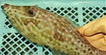 Nhật Bản bắt được loài cá độc gấp 50 lần cá nóc