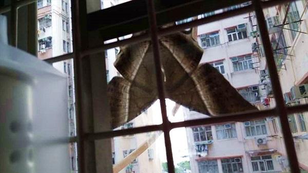 Bướm khổng lồ đậu trên cửa kính dọa người khiếp vía