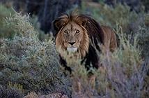 Cả gan săn trộm tê giác, thợ săn bị quái thú này ăn thịt