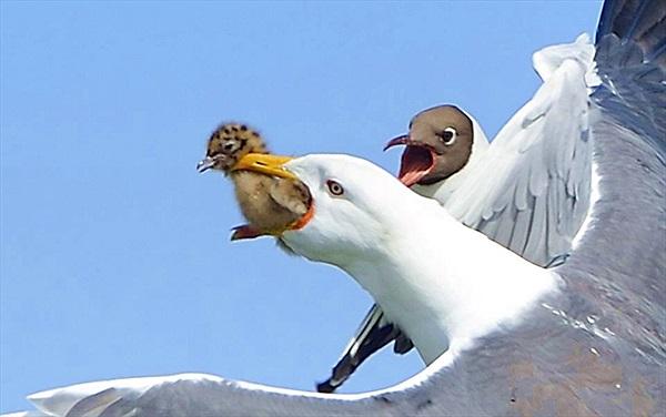 Đau lòng cảnh mòng biển lớn giết chim non ngay trên tay mẹ