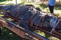 Bắt được cá sấu khủng 60 tuổi, nặng đến 600kg sau 8 năm tìm kiếm