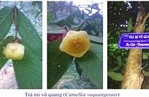 Phát hiện 2 loài trà mi hoa vàng cho khoa học tại Vườn quốc gia Vũ Quang