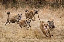 """Clip: Bị linh cẩu truy sát, sư tử leo """"tót"""" lên cây để trốn chạy"""