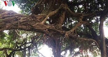 Video: Cận cảnh cổ thụ 700 năm tuổi ở Hưng Yên