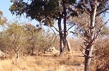 Video: Báo đốm lao từ trên cây xuống bắt sống linh dương