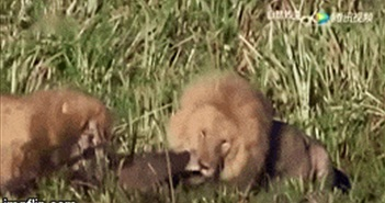"""Video: Xâm phạm """"vùng đất cấm"""", linh cẩu bị sư tử giết chết dưới đầm lầy"""