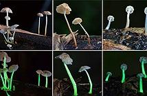 Phát hiện loài nấm phát quang mới ở Ấn Độ