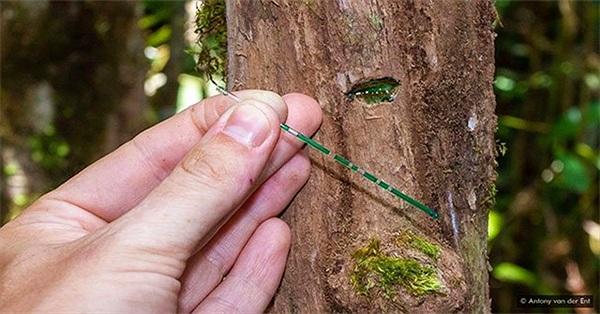 Trồng cây ưa niken để khai thác niken, công nghệ mới còn ít người quan tâm