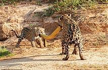 Báo đốm con lật kèo, giành thịt trăn khổng lồ với mẹ