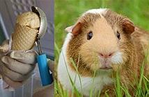 Kem có hương vị chuột, nghe đã rợn, ăn vào thì...