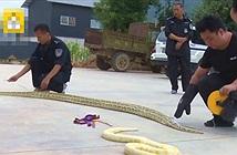 Mua rắn nhỏ làm thú cưng, chủ nhân tá hỏa khi rắn biến hóa...