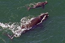 Cá voi mẹ hạ giọng, thì thầm với con để tránh bị thợ săn phát hiện