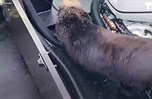 Video: Kỳ thú chuyện bị cá voi sát thủ truy đuổi, rái cá nhảy lên thuyền