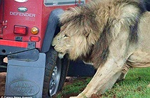Sư tử lao vào gặm lốp xe, khách du lịch hốt hoảng