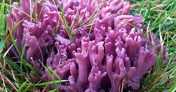 """Nấm """"san hô tím"""" quý hiếm được phát hiện ở miền Bắc xứ Wales"""