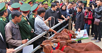 Hơn 24.000 con bò giống đã được trao cho đồng bào nghèo biên giới