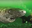 """""""Dung nhan"""" cá mập """"thành tinh"""", 512 tuổi, sống lâu nhất thế giới"""