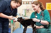 Lạ: Con bò chỉ nặng vỏn vẹn bằng một con mèo