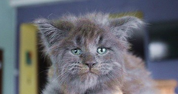 Choáng váng nữ bác sĩ nhân giống thành công mèo mặt người