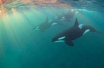 Hiệu ứng bà ngoại ở cá voi sát thủ