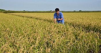 Gạo ở Fukushima lần đầu tiên hết nhiễm xạ sau sự cố