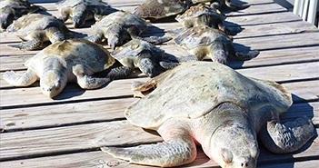 """3.000 rùa biển """"lăn quay"""" bất tỉnh vì giá rét kỷ lục ở Mỹ"""